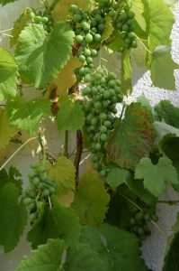 Weintrauben am Ferienhaus